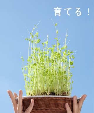 野菜が高いときは豆苗を育てるべし
